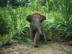 #baby #elephants awwww he has hairs.