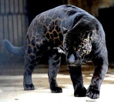 Jaglion - a rare hybrid between a male jaguar and a female lioness