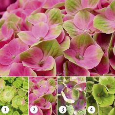 Magical Hydrangea Amethyst pink