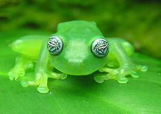 This glass frog, (Centrolene ilex) is mysterious with its marbled swirling peepers. There must be reasons to have such captivating eyes (other than just attracting mates & what not). Maybe they distract us from peering inside its body. It's a glass frog, after all, & they are relatively transparent. I'd be a bit self conscious if folks could look right thru me!