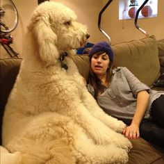 Perfectly Timed Photos That Make Dogs Look Like Giants Cute Dog Pictures, Funny Animal Pictures, Dog Photos, Goldendoodle Grooming, Poodle Grooming, Labradoodle, Goldendoodle Full Grown, Goldendoodle Haircuts, Huge Dogs
