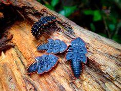 Platerodrilus sp. ELATEROIDEA Trilobite beetles, Malaysia