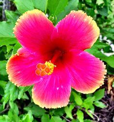 Vibrant Tropical Hibiscus Flower