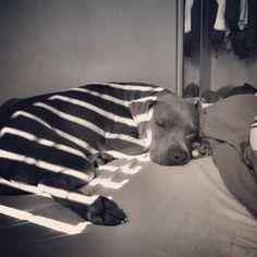 I've got zebra in my bed. Sleepy Animals, Dogs, Pet Dogs, Doggies