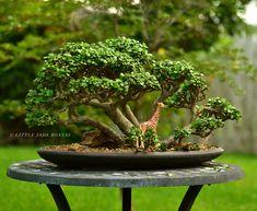 Portulacaria afra (dwarf jade) bonsai tree forest by Little Jade Bonsai. Bonsai Tree Price, Buy Bonsai Tree, Japanese Bonsai Tree, Bonsai Trees For Sale, Bonsai Tree Care, Bonsai Tree Types, Indoor Bonsai Tree, Mini Bonsai, Jade Bonsai