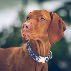 Adorable Dogs, Adorable Animals, Vizsla Dog, Hungarian Vizsla, It's Snowing, Pretty Tough, Rainy Weather, All Things Cute, Go Outside