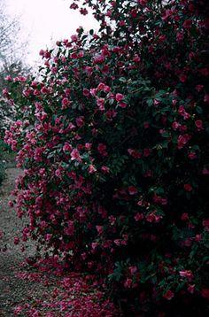 camellia 'Saint Ewe' or other medium-sized camellia (1.5 x 1.2)