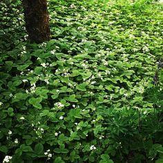 Parvekkeen alapuolelle levittäytyvä salainen metsämansikkakunnas kukkii taas valkoisena. Toivottavasti saadaan maistiaisia. Viime vuonna ei tullut yhtään marjaa taisivat linnut ehtiä ennen.  #metsämansikka #mansikka #strawberry #wildstrawberry #nature #luonto #espoo #home #koti
