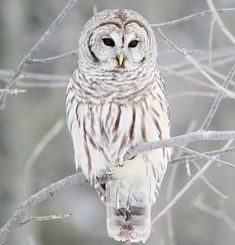 white owl - Google Search