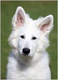 German Sheperd Dogs, German Shepherds, Funny Dog Videos, Funny Dogs, White Swiss Shepherd, Schaefer, Animal Facts, Yoko, Beautiful Landscapes