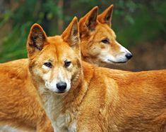 The dingo is a free-roaming dog mainly found on the continent of Australia. It is a subspecies of the gray wolf, Canis lupus. A dingo's habitat ranges from deserts to grasslands and the edges of forests. Reptiles, Mammals, Animals Beautiful, Cute Animals, Beautiful Creatures, African Wild Dog, Wild Dogs, Nature Animals, Pet Birds