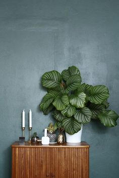 A striking Calathea plant creates a focal point against a dark wall | Living and styling with plants Urban Jungle Bloggers book | Photo ©️️ Line Stuetzer