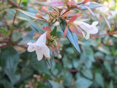 Abelia grandiflora. June Butterfly Food, June, Plants, Plant, Planets