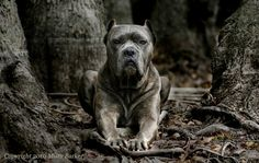 Black Cane Corso dog of war sitting with its paws forward and looking out Cane Corso Italian Mastiff, Cane Corso Mastiff, Cane Corso Dog, Big Dogs, I Love Dogs, Dogs And Puppies, Doggies, Mastiff Breeds, Dog Breeds