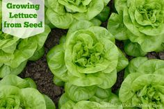 Lettuce is pretty much the easiest thing to grow on the planet. It has pretty high yields and, unlike other veggies, can make up the bulk of an entire meal