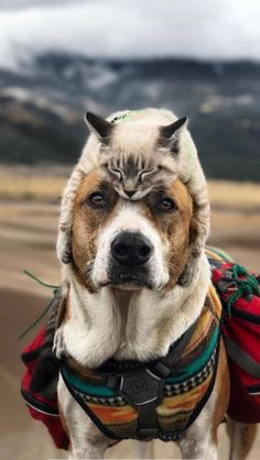 Most of us know that cats and dogs are enemies, not actually. You can see the pictures of cats and dogs living together. Funny Animal Pictures, Funny Animals, Cute Animals, Animal Pics, Stupid Animals, Animals Photos, Cute Cats And Dogs, Cats And Kittens, Dog Travel
