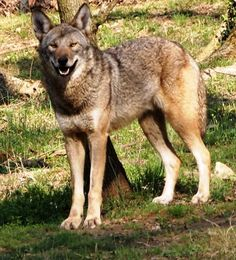 Red wolf at the Endangered Wolf Center, a Red Wolf Species Survival Plan participant. Photo credit theirs..
