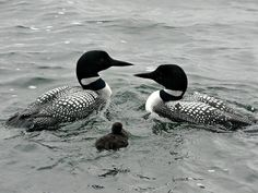 Common Loon...took this picture last summer on Turtle Lake, MN.  Beautiful bird with unique call....