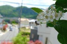 チョコレートベリーの花-04