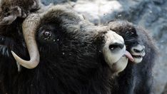 Researchers believe that erysipelothrix rhusiopathiae, an 'unusual' bacteria, could be the culprit for a large decline in the muskox population on both Banks Island and Victoria Island.