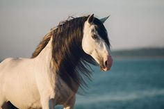 Deker Zar Most Beautiful Animals, Beautiful Horses, Pretty Horses, Horse Love, All Horse Breeds, Andalusian Horse, Horse Print, Horse Pictures, Equine Photography