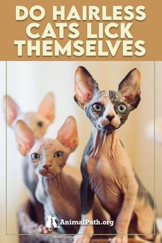 Do hairless cats lick themselves? Hairless Kitten, Around The Fur, Elf Cat, National Cat, American Curl, Cat Allergies, Kitten Care, Cat Behavior, Pet Safe