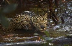 Jaguar in love by Araquém Alcântara Araquem Alcantara, James Nachtwey, Photo Displays, Love Photography, Jaguar, Panther, Awesome, Nature, Brazil