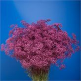 Buy wholesale Gypsophila dyed purple for delivery direct to any UK address - wholesaled in Batches of 25 stems. Ideal for wedding flowers, floral design & corporate events. Gypsophila, Table Plans, Cut Flowers, Wedding Flowers, Florist Supplies, Herbs, Purple, Numbers, Plants