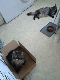 Maine Coon Spirit und Mystery nach dem Essen... Mystery, Maine Coon, Cats, Animals, Maine Coon Cats, Essen, Kunst, Gatos, Animais