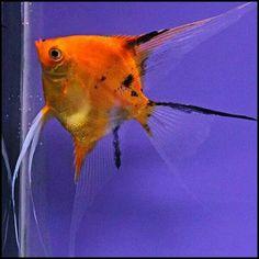 Koi angel South American Cichlids, Discus Fish, Freshwater Aquarium Fish, Angel Fish, Exotic Fish, Sea World, Aquariums, Tropical Fish, Sea Creatures