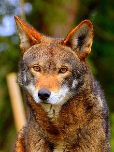 phototoartguy:  Red Wolf - Douglas Weston