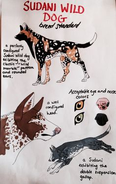 The Sudani Wild Dog is a primitive North African sighthound. It is thought to have originated in the Sudan region several thousand years ago, when mixed breed Bedouin hunting dogs bred with native African wild dogs, and was used to hunt large antelope such as oryx. Today, this primal dog attributes its physical traits to the African wild dogs, but has long been domesticated. It is considered a rare breed, and many Sudanis are imported from Egypt, Morocco, and other North African countries