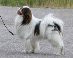 Japanese Chin Japanese Dog Breeds, Japanese Dogs, Japanese Chin, Doggies, Dogs And Puppies, Puppy Breath, Chin Chin, Dog List, Dog Rules