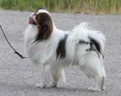 Japanese Chin Japanese Dog Breeds, Japanese Dogs, Japanese Chin, Puppy Breath, Chin Chin, Dog List, Dog Rules, Pekingese, Beautiful Couple