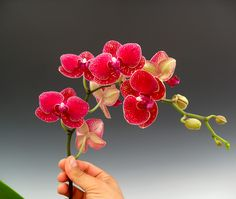 "Red is the color of love..   Red Orchid Flowers - Doritaenopsis Taida Salu ""Alisan"""
