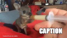 Teeny tiny rescue wallaby Scotty enjoys a tasty lunch