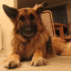 Another pretty BIG Dog for our photography competition