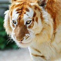 A Rare Golden Tiger
