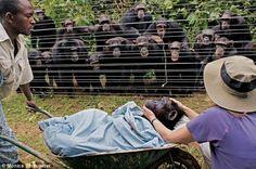 Hesed : 동료의 죽음을 애도하는 침팬지들