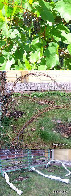 Укрываем виноград   Дачная жизнь - сад, огород, дача. Укрываем виноград на зиму.
