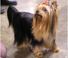 looks like my baby girl Yorshire Terrier, Silky Terrier, Baby Dogs, Doggies, Yorkie Dogs, Puppies, Pet Grooming, Little Dogs, Beautiful Children