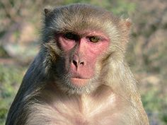"""Rhesus Macaque (a/k/a Rhesus Monkey - Macaca mulatta).   [""""rhesusmacaque.jpg (300×225).""""]     Google search: """"The Rhesus Macaque (Scientific name:Macaca mulatta) is one of the best-known species of Old World monkeys (used for research). Native toSouth,Central, &Southeast Asia, Rhesus Macaque troops inhabit a great variety of habitats, from grasslands to arid & forested areas, but also close to human settlements. Wikipedia."""""""
