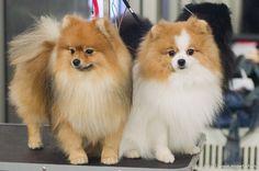 """20 декабря 2014 года в Крокус Экспо в Москве состоялась выставка собак """"Золотой ошейник""""."""