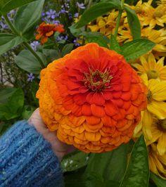 Zinnia 'Benarys Giant Orange'