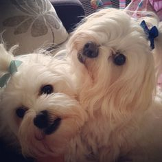 Albi & Theo Anna Saccone Joly, Bichons, Malteser, Outfit Of The Day, Dogs, Animals, Long Length Hair, Today's Outfit, Animales