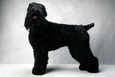 Zoe, Black Russian Terrier  Westminster Best of Breed