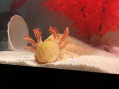 Axolotl baby