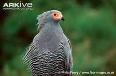 A fairly large but relatively lightweight bird of prey, the African harrier-hawk has a distinctive small, pointed head, with a patch of naked yellow skin on the face which flushes red when the bird is excited. On the top of the head is a crest of feathers, which may be raised or lowered. The plumage is mainly grey, with neat black and white barring on the abdomen and thighs, though this is absent in some individuals.