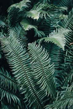 The curved lines of the fern are very inspiring. I like how ferns can be seen as modern/tropical as well as woodsy/forest like. Wild At Heart, Flora Und Fauna, Belle Plante, The Secret Garden, Plants Are Friends, Green Plants, Large Plants, Shades Of Green, Palm Trees