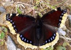 Mourning Cloak butterfly - State butterfly of Montana. Very dark maroon butterfly with white edges on its wings, and a row of blue spots just inside the white. Caterpillar Insect, Butterfly Kisses, Purple Butterfly, Chow Chow, Butterfly Lighting, Extinct Animals, Love Bugs, Butterflies, Animals